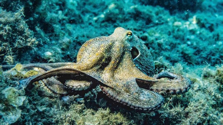 ऑक्टोपस : तीन हृदयांचा प्राणी